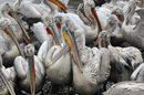 Стотици къдроглави пеликани се събраха в акваторията на каспийското пристанище в столицата на Дагестан Махачкала, Русия. Според местните медии те търсят спасение от големите студове.<br />