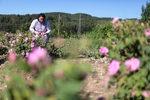 Пътят на розата от полето до розовото масло
