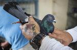 Фотогалерия: Новото хоби на Куба - гълъбите
