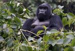 Фотогалерия: Преброяване на планинските горили на Руанда