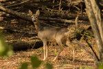 Читателска фотогалерия: Видове елени, разпространени в България