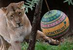 Снимка на деня: Лъвски ден