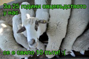 За 25 години овцевъдството у нас   се е свило 10 пъти! :(
