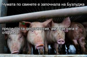 Чумата по свинете е започнала на Бузлуджа  преди доста десетилетия, ама чак сега я откриват!