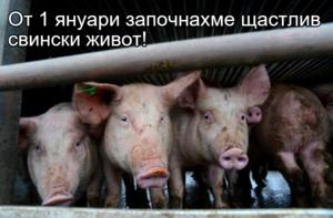 От 1 януари започнахме щастлив свински живот!
