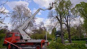 Дървета пред Народния театър бяха отсечени, защото се оказаха опасни
