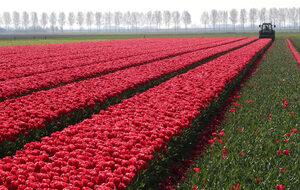 Фотогалерия: Лалетата на Холандия