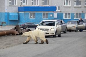 Снимка на деня: Полярна мечка се появи в сибирски град