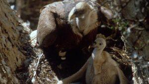 Повече лешоядчета се излюпиха тази пролет в Източните Родопи
