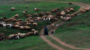 Огнище на чума по овцете в Ямболско е първото на територията на ЕС