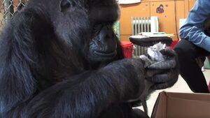 Видео: Почина горилата Коко, която владееше над 1000 знака от езика на глухонемите