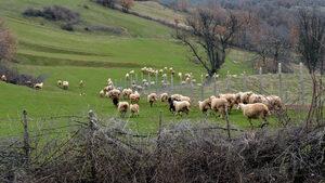 Как чумата по овцете стана политически въпрос