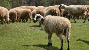 Овцете в Болярово умрели от преяждане, не от чума, твърдят стопаните