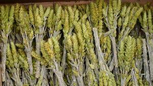Популацията на застрашения от изчезване мурсалски чай е стабилна в Родопите