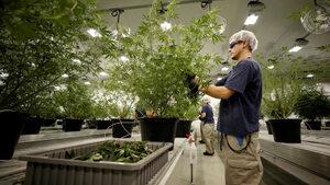 Производителят на Corona инвестира 4 млрд. долара в компания за напитки с марихуана