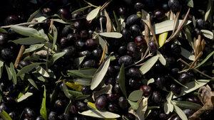 Испанските маслини - поредната жертва на американската търговска война