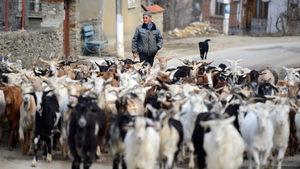 Започна изплащането на минималната държавна помощ за овцевъди и козевъди