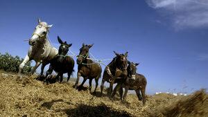 Туристите с наднормено тегло няма да яздят магарета на Санторини