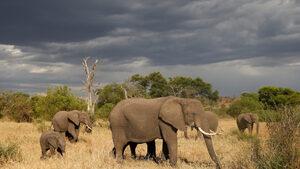Фотогалерия: Нова технология пази слоновете от бракониери в Танзания