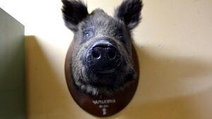 Кoнстатиран e първи случай на африканска чума при дива свиня в България