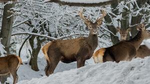 Семейство елени през зимата
