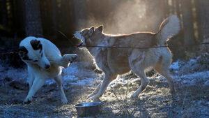 Фотогалерия: Подготовка за най-голямото състезание с кучета