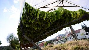 Консултативният съвет по тютюна одобри по-ниски ставки за миналогодишната реколта