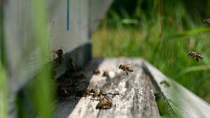 Отравяне на пчели в Добруджа повдига съмнения за незаконно пръскане
