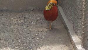 Златен фазан