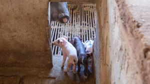 На 10 семейства в Кресна е дадена отсрочка, за да умъртвят прасетата си