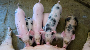 Опазилите се от африканската чума свиневъди в Китай имат рекордни печалби