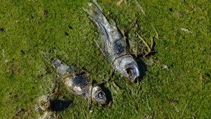 Риба край Перник умира заради топла вода и прекалени грижи според басейновата дирекция