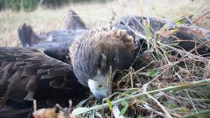 Фотогалерия: По следите на отровените птици във Врачанския Балкан