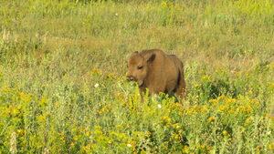 Зубрите в Източните Родопи вече живеят извън огради