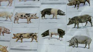 Африканска чума е установена по диви свине край Бойчиновци и Троян