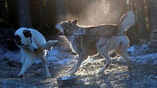 Фотогалерия: Кой е най-бързият кучешки впряг