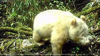 """Видео: За пръв път в историята бе открита <span class=""""highlight"""">панда</span> албинос"""