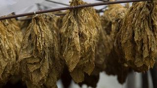 Държавата ще пренасочва тютюнопроизводителите към други дейности