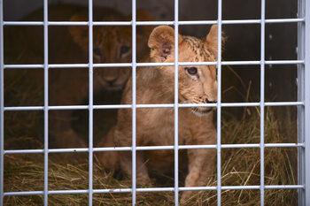 Зоокътът в Пазарджик все пак се сдоби с лъвове от Разград