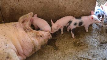 Африканската чума по свинете достигна София