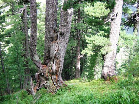 вековно дърво в Пирин
