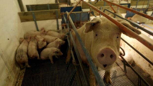 Засилват се мерките срещу африканската чума по свинете