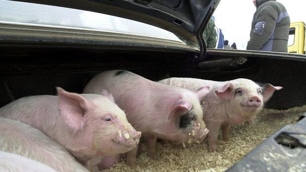 Евродепутати от България и Румъния искат още пари от ЕС заради чумата по свинете