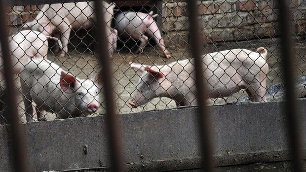 Агенцията по храните съветва стопаните как да действат заради чумата по свинете