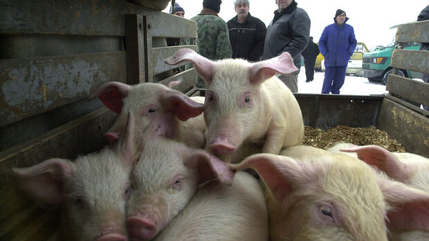 Русия ограничава вноса на свинско от България заради африканската чума