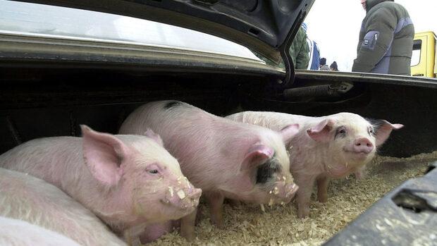 Еврокомисията започва спешен одит на ситуацията с африканската чума по свинете в Румъния