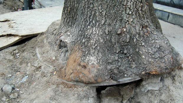 """Ще издържат ли дърветата по ул. """"Граф Игнатиев"""" безцеремонния ремонт"""