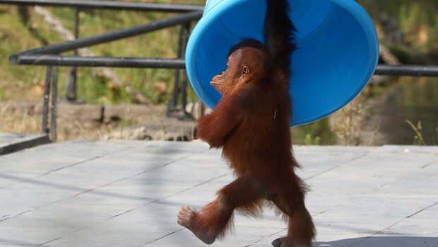 Снимка на деня: Маршът на малкия орангутан