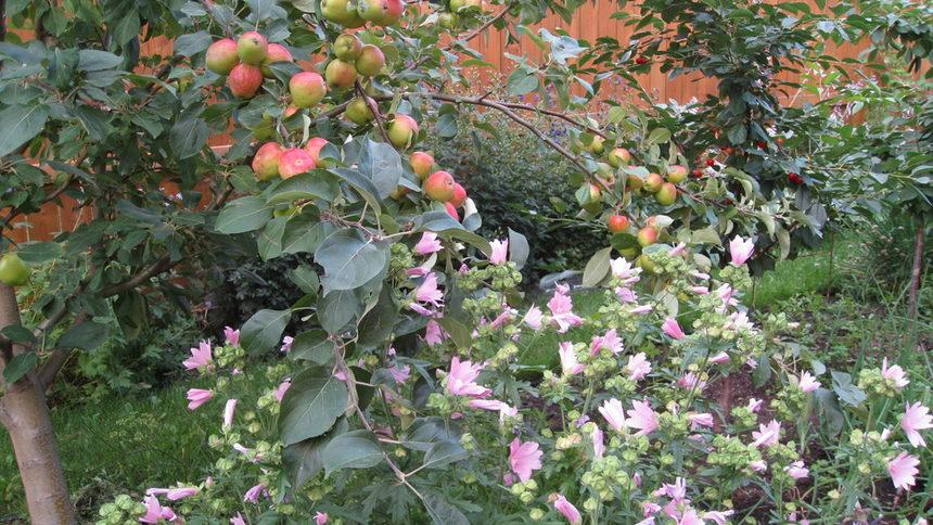 Ябълки и вишни.