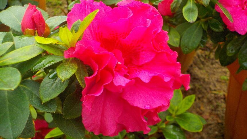 Цветето обича светлината, но не преките слънчеви лъчи. Затова се чувства удобно на места със северно изложение.